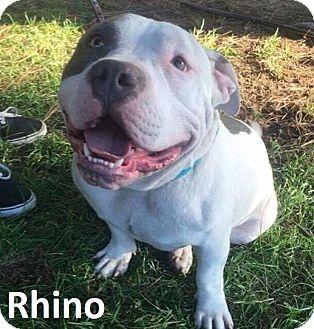 American Bulldog Mix Dog for adoption in Lake Forest, California - Rhino