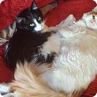 Adopt A Pet :: Ophelia (Ophie) - Pasadena, CA
