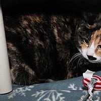 Calico Cat for adoption in Marietta, Ohio - Anna Nicole (Spayed)