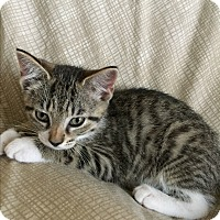 Adopt A Pet :: Tigeress - Columbia, TN