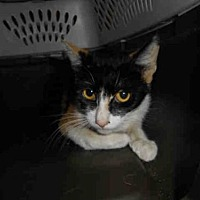 Domestic Mediumhair Cat for adoption in Long Beach, California - *HATTIE