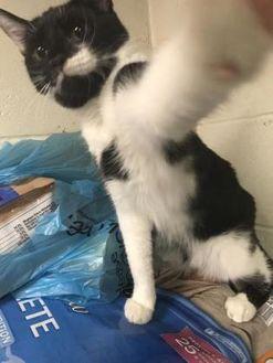 Domestic Shorthair/Domestic Shorthair Mix Cat for adoption in Wellsville, New York - Krystal