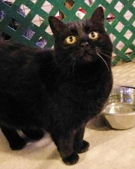 Domestic Shorthair/Domestic Shorthair Mix Cat for adoption in Boonville, Missouri - Midnight