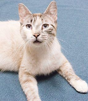 Snowshoe Cat for adoption in Chicago, Illinois - Lauren