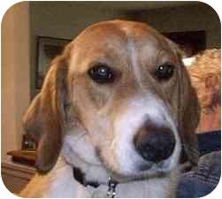 Beagle/Basset Hound Mix Dog for adoption in Ventnor City, New Jersey - STRAWBERRY
