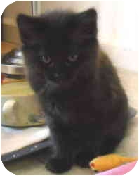 Domestic Mediumhair Kitten for adoption in North Highlands, California - Quintana