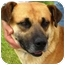 Photo 1 - Mastiff Mix Dog for adoption in Osseo, Minnesota - Mike