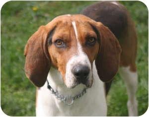Treeing Walker Coonhound Dog for adoption in Harrisburgh, Pennsylvania - Bo