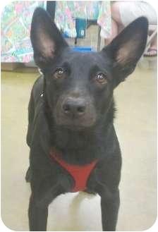 Cattle Dog/Shepherd (Unknown Type) Mix Dog for adoption in Orlando, Florida - Emmie