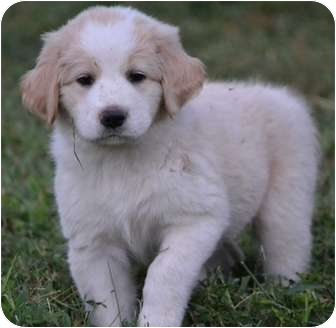 Spaniel (Unknown Type)/Labrador Retriever Mix Puppy for adoption in Spring Valley, New York - Chumba