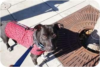 American Pit Bull Terrier Mix Dog for adoption in Yuba City, California - Scarlett
