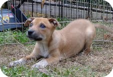 Boxer/Terrier (Unknown Type, Medium) Mix Puppy for adoption in Harrisonburg, Virginia - Frankie the Fish ($50 off)