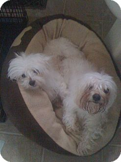 Maltese Dog for adoption in Baltimore, Maryland - Andy and Lily