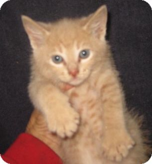 Manx Kitten for adoption in Dallas, Texas - Buffy