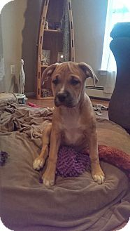 Labrador Retriever/Pit Bull Terrier Mix Puppy for adoption in Manahawkin, New Jersey - Brandi
