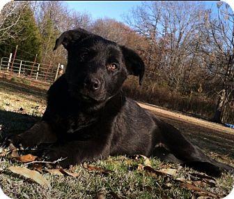 German Shepherd Dog/Labrador Retriever Mix Puppy for adoption in Conway, Arkansas - German Shepherd/lab puppies
