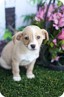 Beagle/Maltese Mix Puppy for adoption in Auburn, California - Jerry