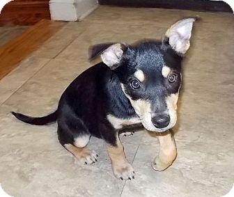 Blue Heeler/Beagle Mix Puppy for adoption in Memphis, Tennessee - Loretta