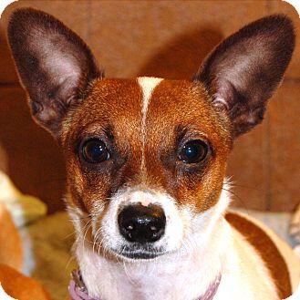 Chihuahua Mix Dog for adoption in Durham, North Carolina - Baylor