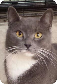 Domestic Shorthair Cat for adoption in Colfax, Iowa - Monte