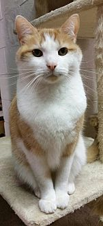 Domestic Shorthair Cat for adoption in Toast, North Carolina - Queso