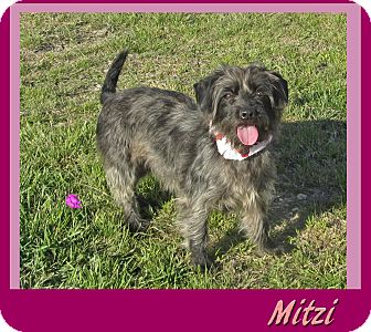Terrier (Unknown Type, Small)/Schnauzer (Standard) Mix Dog for adoption in Hillsboro, Texas - Mitzi