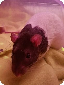 Rat for adoption in Dallas, Texas - Obi Wan & Han Solo