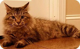 Domestic Mediumhair Cat for adoption in Hopkinsville, Kentucky - FOXY
