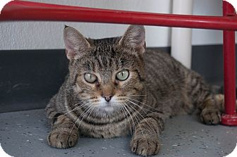 Domestic Shorthair Cat for adoption in Martinsville, Indiana - Zeeka