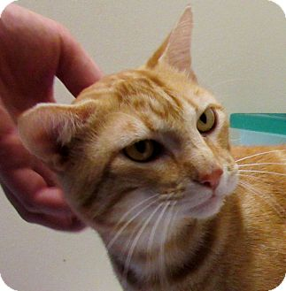 Domestic Shorthair Cat for adoption in Grinnell, Iowa - Allistair