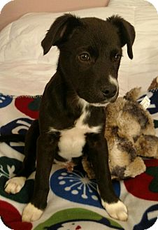 Border Collie Mix Puppy for adoption in Homewood, Alabama - Chase