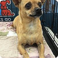 Chihuahua Mix Dog for adoption in Tucson, Arizona - Pepo