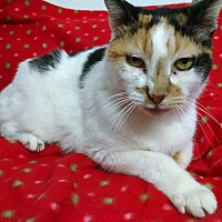Calico Cat for adoption in Fischer, Texas - Lady Cinimon