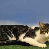 Domestic Shorthair Cat for adoption in Naples, Florida - Teagan