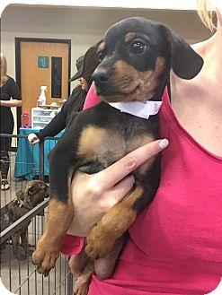 Miniature Pinscher/Dachshund Mix Puppy for adoption in Phoenix, Arizona - Pluto