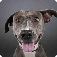 Blue Lacy/Texas Lacy Mix Dog for adoption in West Palm Beach, Florida - LACY
