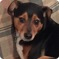 Terrier (Unknown Type, Medium)/Beagle Mix Dog for adoption in kennebunkport, Maine - Sully - in New England