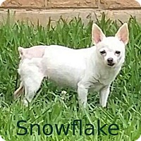 Adopt A Pet :: Snowflake - Shreveport, LA