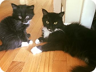 Domestic Longhair Cat for adoption in Warwick, Rhode Island - Madeline & Max
