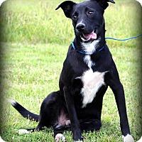 Labrador Retriever Mix Dog for adoption in Southbury, Connecticut - Aaron