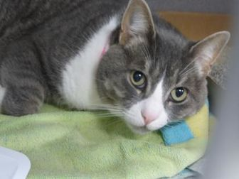 Domestic Shorthair/Domestic Shorthair Mix Cat for adoption in Evans, Colorado - Mufasa
