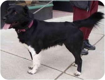 Border Collie/Shepherd (Unknown Type) Mix Puppy for adoption in Kellogg, Idaho - Free
