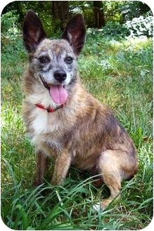 Corgi/Cairn Terrier Mix Dog for adoption in Nashville, Tennessee - Brittney- Adopted