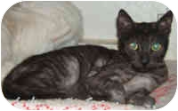 Egyptian Mau Cat for adoption in Dallas, Texas - Mini