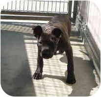 American Pit Bull Terrier Mix Puppy for adoption in San Clemente, California - MAGGIE