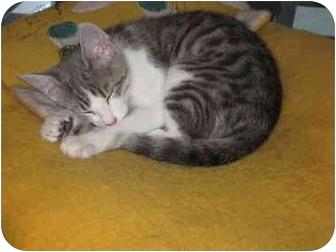 Domestic Shorthair Kitten for adoption in Jeffersonville, Indiana - Gina