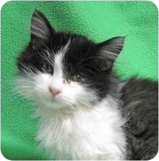 Domestic Longhair Kitten for adoption in Fairmont, Minnesota - Mercy