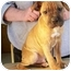 Photo 1 - Shar Pei/Boxer Mix Puppy for adoption in North Judson, Indiana - Crawford