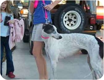 Greyhound Dog for adoption in Cape Coral, Florida - Sherrie