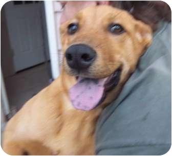 Golden Retriever/Labrador Retriever Mix Puppy for adoption in Westminster, Colorado - Mystic